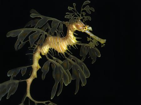 Leafy Sea Dragon Photo by William Cushman — National Geographic Your Shot