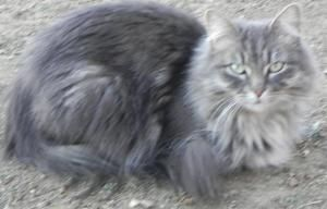 Adopt Miley On Petfinder Maine Cooney Cats Big Maine Cooney Cats Serious Cat