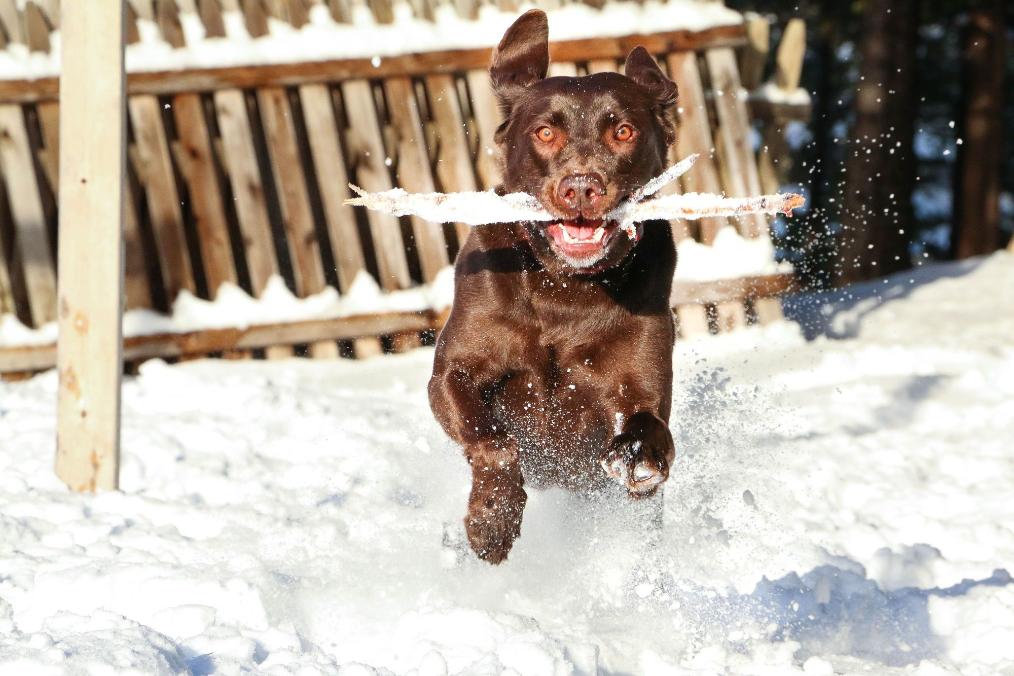 Fetch Chocolate Lab fetching a stick in the snow.