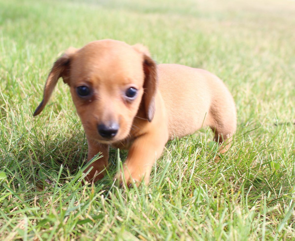 Denver Akc Dachshund Dogs For Sale In Shipshewana Indiana
