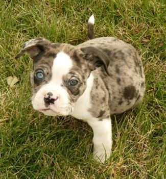 Alapaha Blue Blood Bulldog Puppy Blue Blood Bulldog Dog Breeds