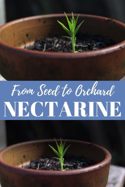 a Nectarine (and Other Stone Fruit) from Seed! Planting nectarine seeds, peach pits, and other stone fruit can produce excellent fruit. Here are step-by-step instructions for starting stone fruit trees from seed. Create an orchard from your favorite fruits!Planting nectarine seeds, peach pits, and other stone fruit can produce excellent fruit. Her...