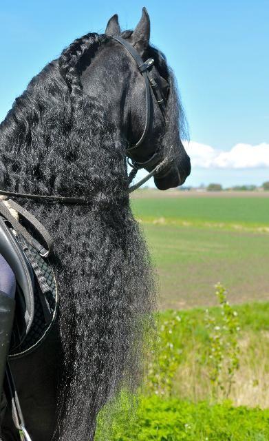 Horses for sale - Friesian / Friesian Sporthorse Horse Netherlands Dressage For sale Сказочный фриз на продажу!