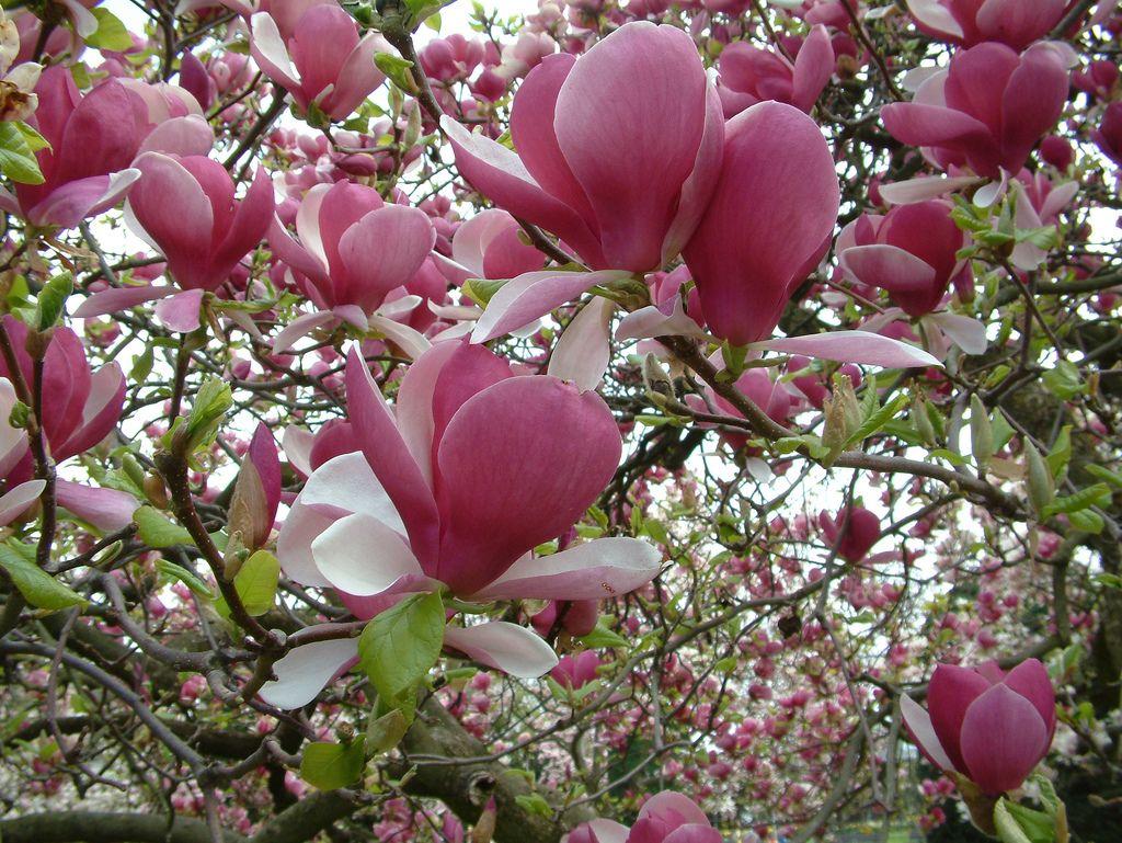 Magnolia 'Rustica Rubra' 7m x 7m. This is the garden's ...