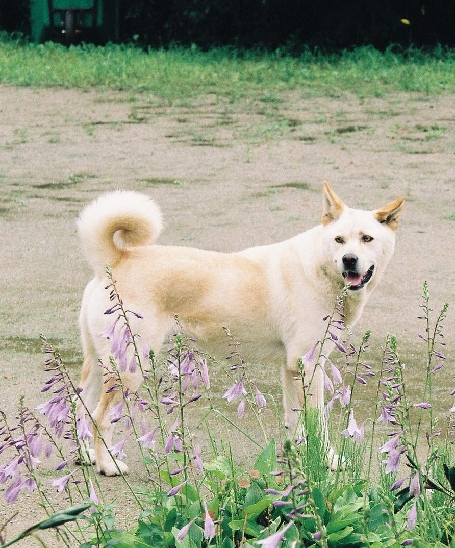 Pungsan Dog / Hangul / Hanja / Korean Jindo Dogs Dogs