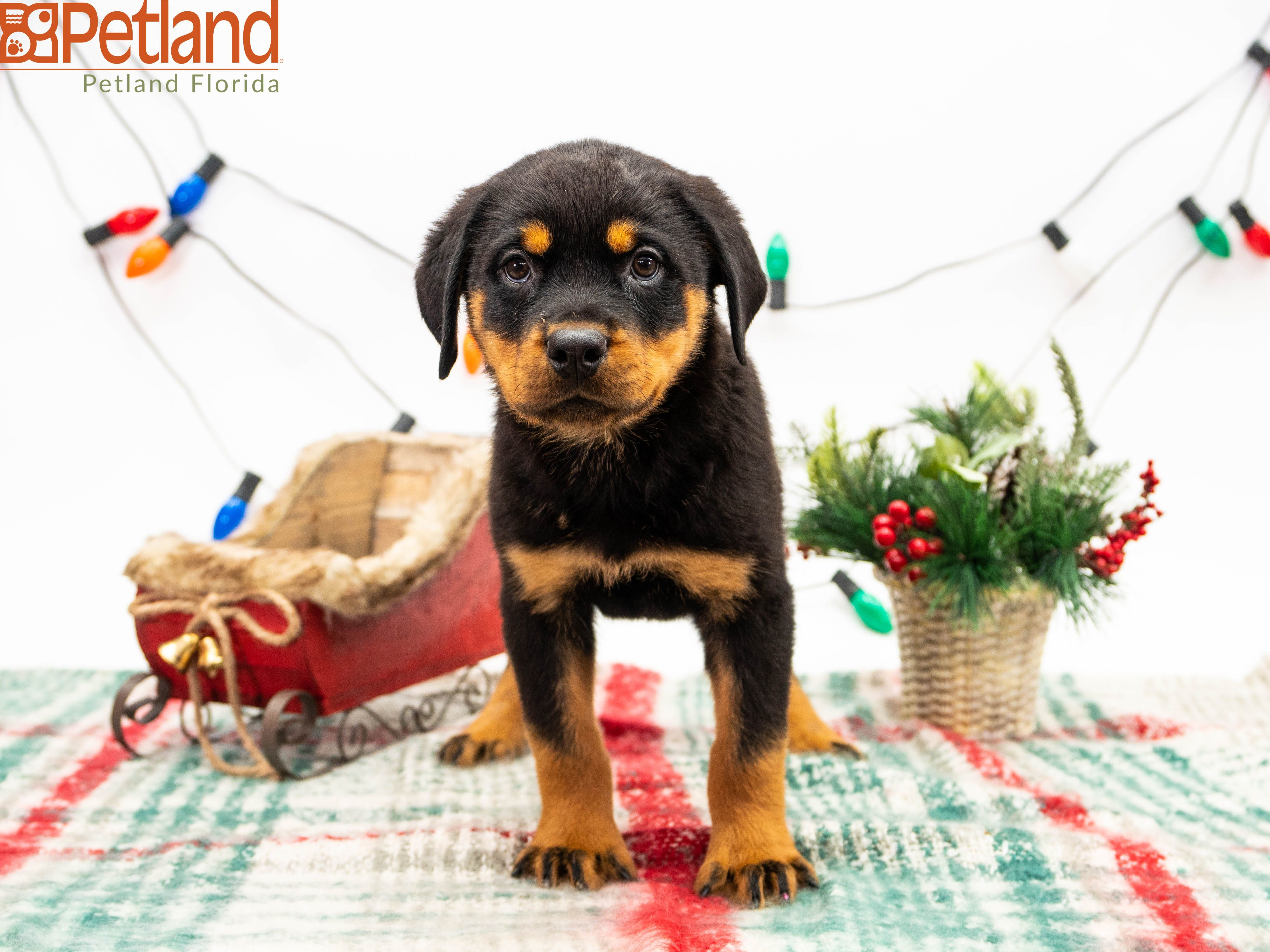 Puppies For Sale Puppies Rottweiler Puppies Dog Lovers