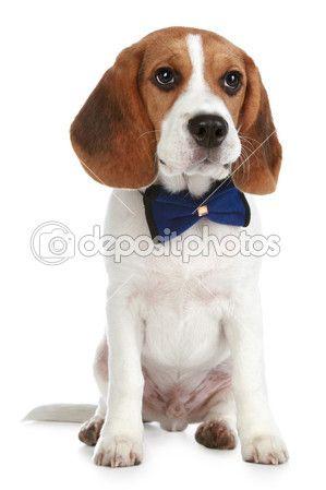 Bezaubernde Beagle-Welpe mit einem Bogen — Stockfoto © FotoJagodka #4109019