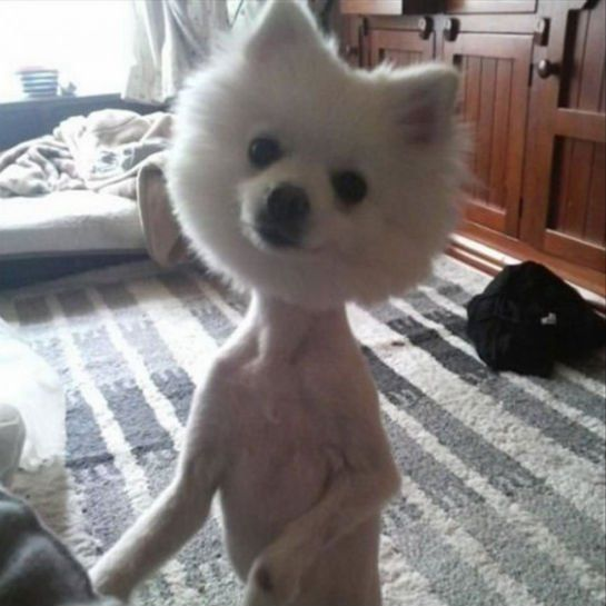 Bobblehead Dog Haircuts Gone Really Wrong Mom Me Funny Looking Animals Shaved Animals Dumb Dogs