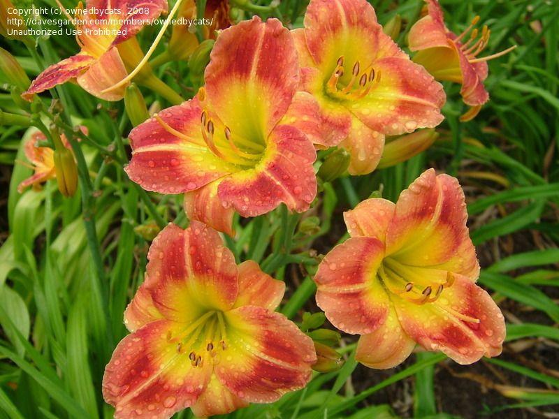 Fairy Firecracker -  (Hudson, 1984) height 15in (38cm), bloom 2.75in (7.0cm), season M, Rebloom, Evergreen, Diploid,  Orange and red blend with green throat.