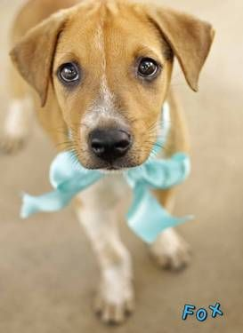 Fox Is A Male Tan White Labrador Retriever Mix 3 Months Old Labrador Retriever Mix White Labrador Dogs And Puppies