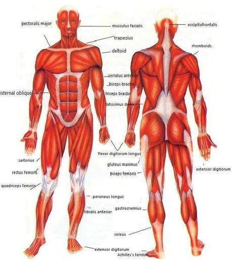 diagrams of muscles in the human body | anatomy picture, human,