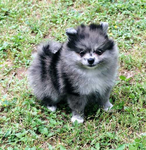 blue merle pomeranian - Google Search | To Love A Pom ...