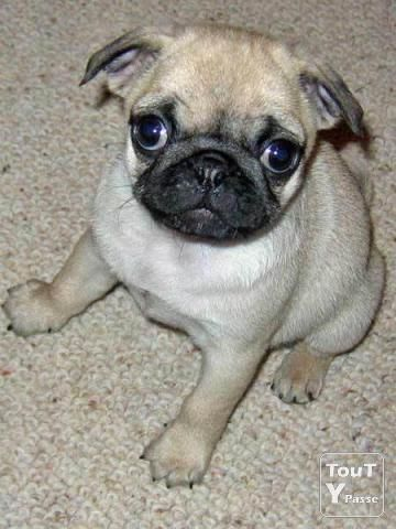 Pin By Magalie Bernier On Dogs Pug Puppies Pugs Pug Love