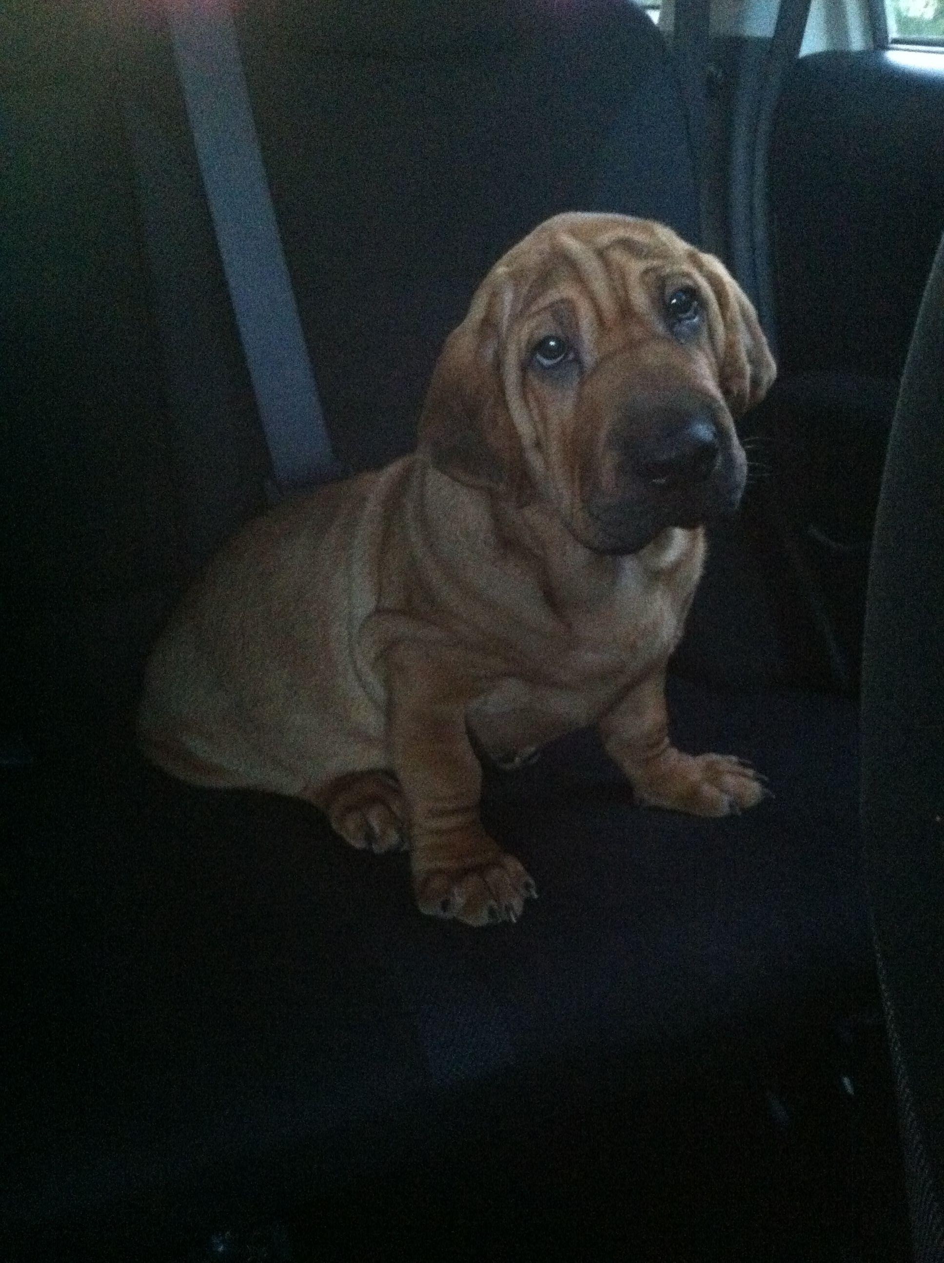 Great Shar Pei Chubby Adorable Dog - 3722526eeb2076ef0652a3e9c7f697f1  HD_607293  .jpg