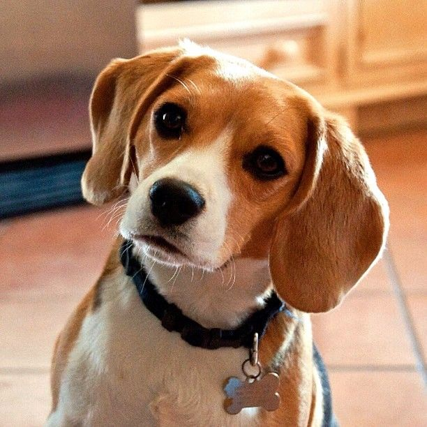 Adorable Beagle Pup Doing The Head Tilt Congrats To
