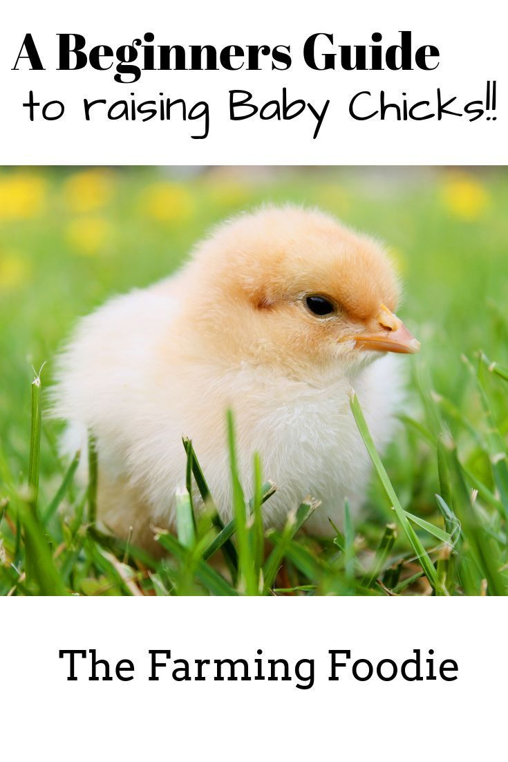 Everything you need to know about raising baby chicks ...
