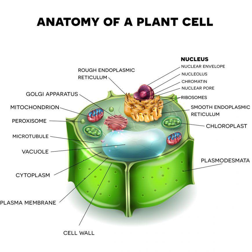 17+ Do animal cells have a chloroplast ideas