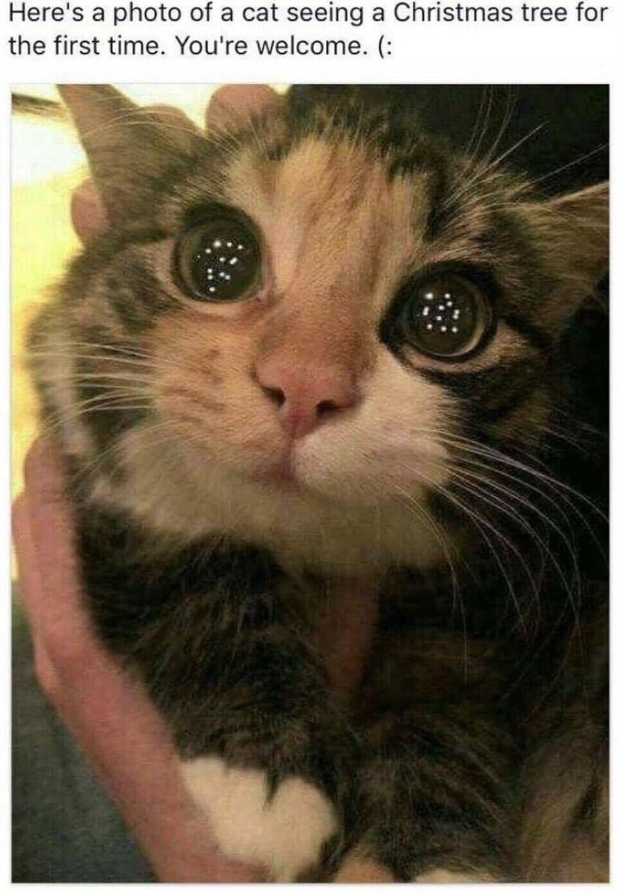 here is a photo of a cat seeing his first Christmas tree
