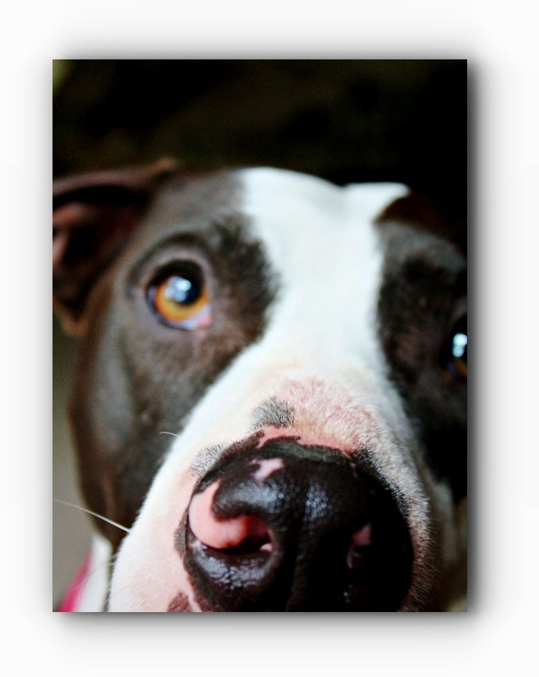 Pitbull Click Above Visit Link To See More
