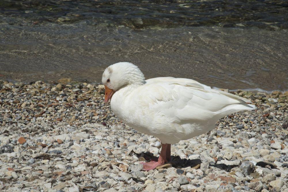 Domestic white goose chania crete greece 2017 white