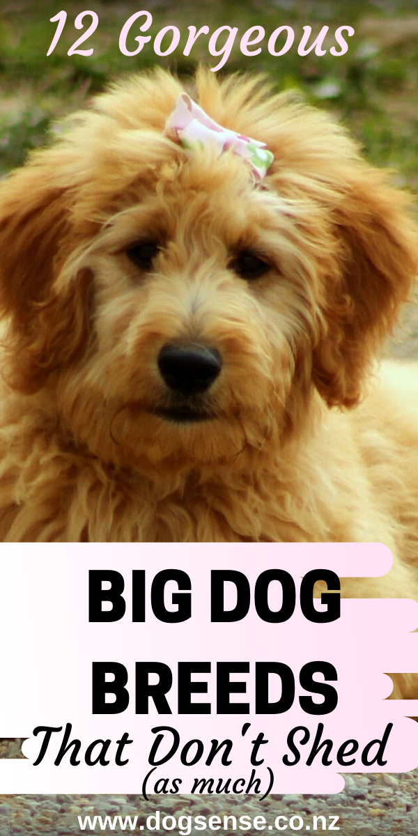 Dog Breeds Big Dogs That Don T Shed Top 10 Gentle Giant