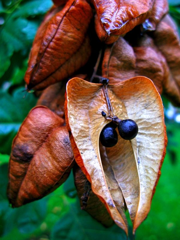 Black Seeds Seed Pods Seeds Tree Seeds