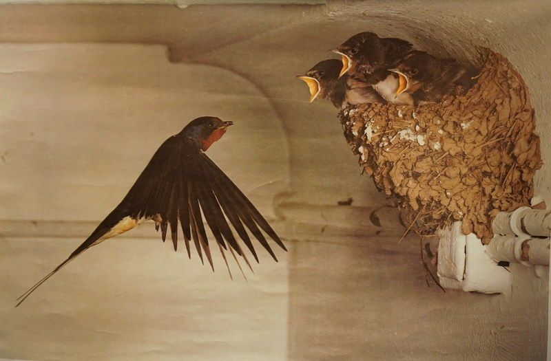 Vintage Educational Teaching Roll Up Poster Chimney Swallows Birds Nest Germany Swallow Bird Poster Vintage German