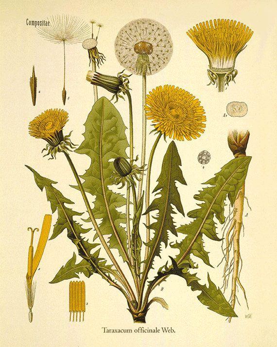 Antique Dandelion Art Print Vintage Antique Botanical Art Etsy In 2020 Dandelion Art Botanical Illustration Art Prints