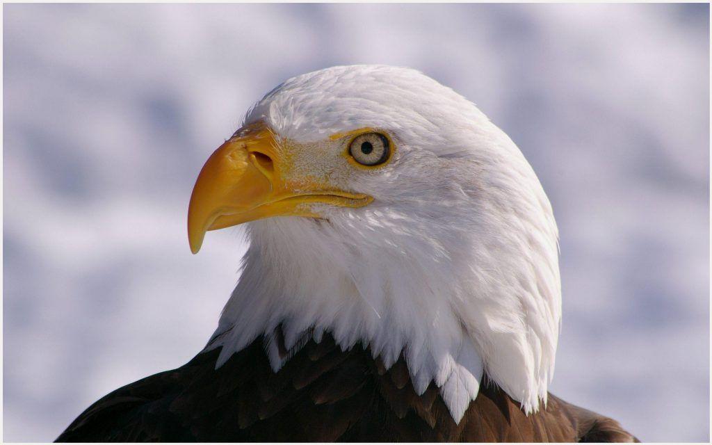White head eagle wallpaper white head eagle wallpaper birds bird white head eagle wallpaper voltagebd Image collections