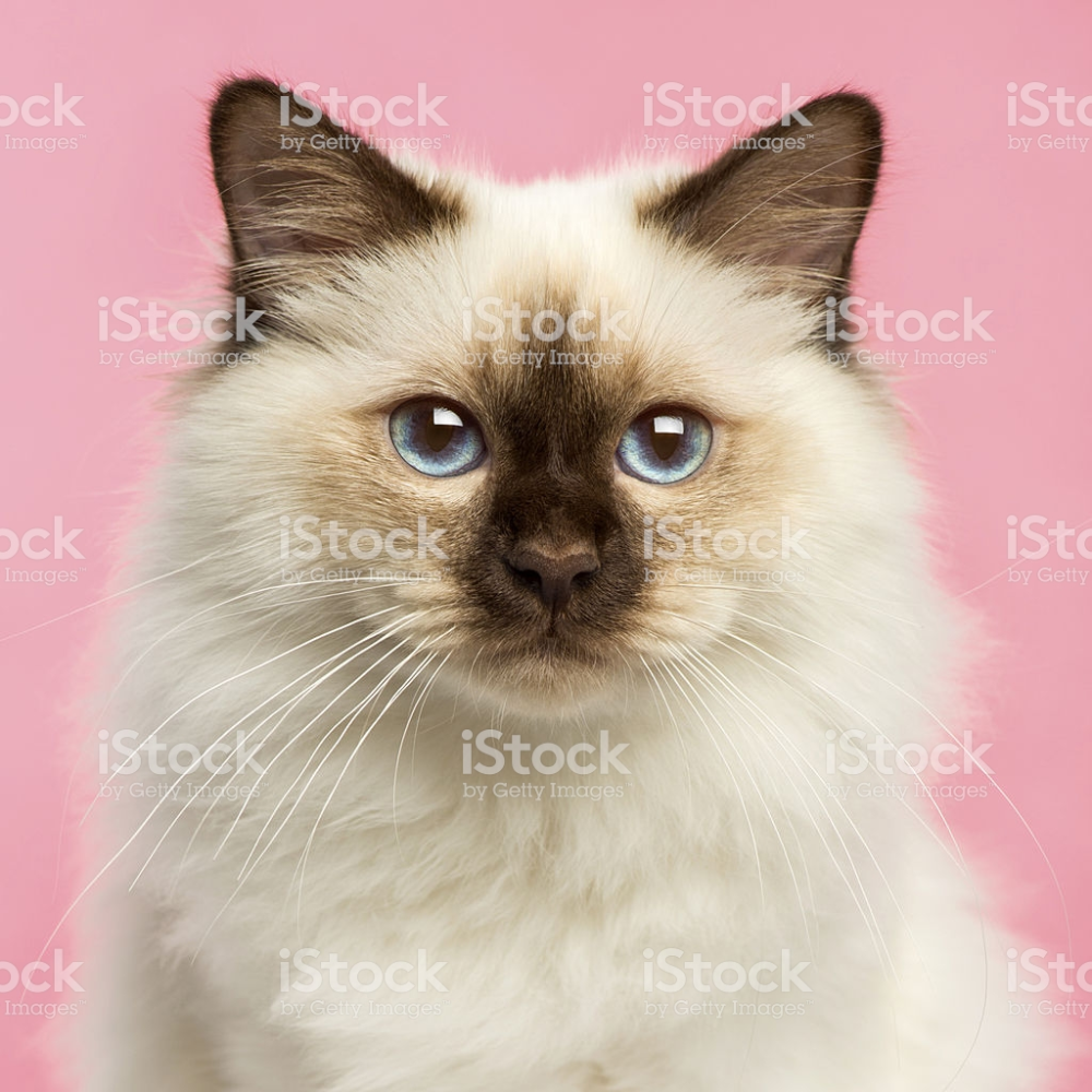 Close Up Of A Birman Kitten Looking At The Camera 5 Months Old On A クローズアップ 猫 写真 写真 素材