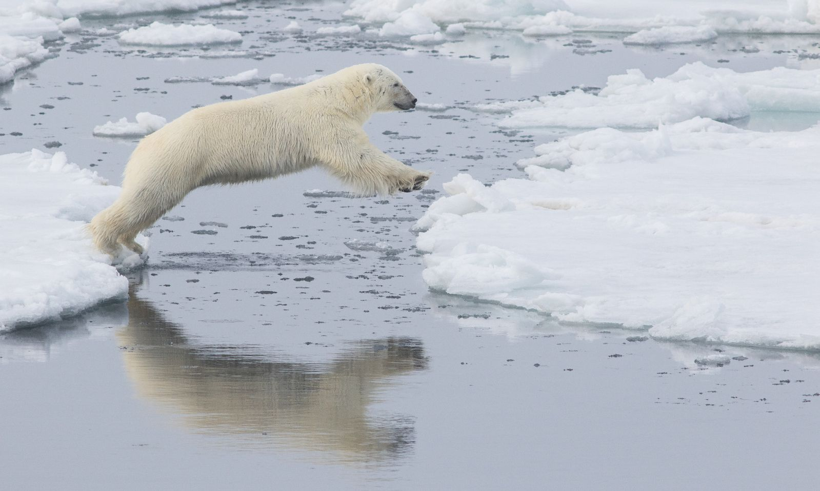 What Do You Think Will This Polar Bear Make It To The Other Side Without Falling In The Water Polar Bear Bear Polar