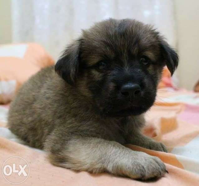 Rush For Sale Golden Retriever X Chow Chow Puppy For Sale