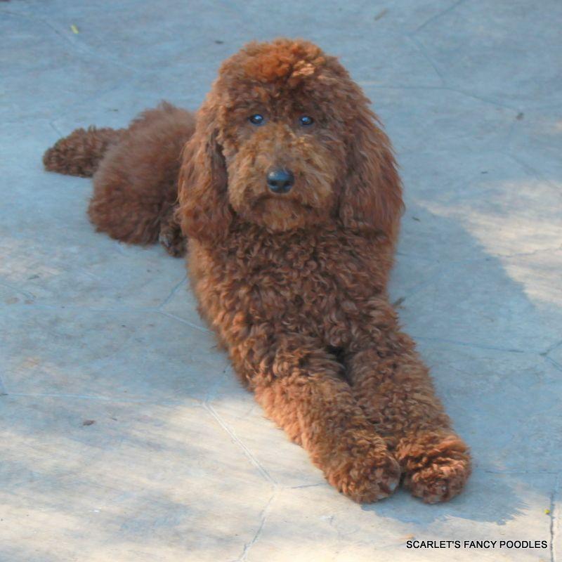 Giselle Red Moyenklein Poodle Akc Poodle Scarlets Fancy