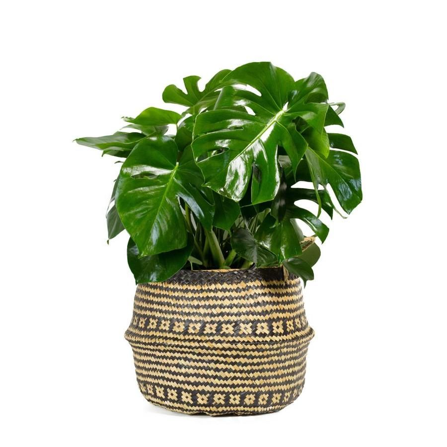 Livetrends 3gallon splitleaf philodendron in seagrass
