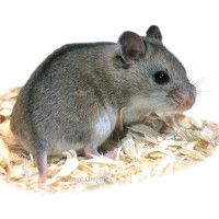 Small Pets For Sale Hamsters Gerbils Mice More Petsmart