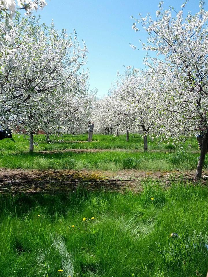 Cherry Blossom Break Door County Wisconsin Door County Cherries Door County