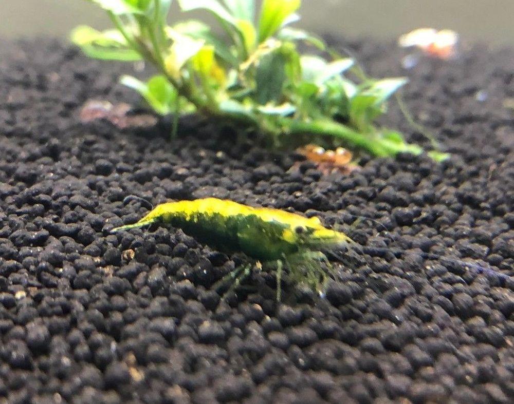 Pin On Freshwater Aquarium Shrimps