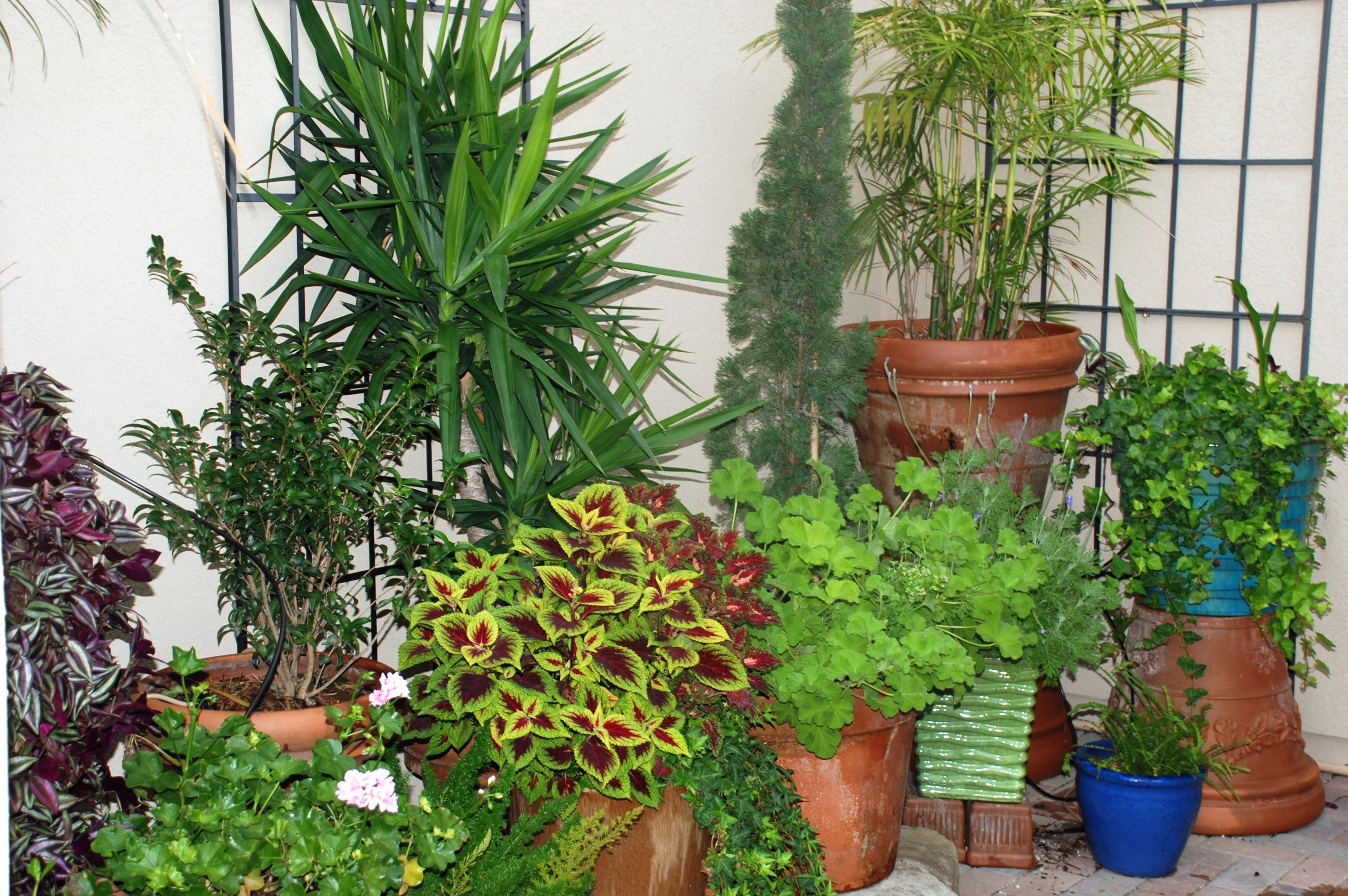 Easy Plants For North Florida Patio In Shade Coleus Foxtail Fern
