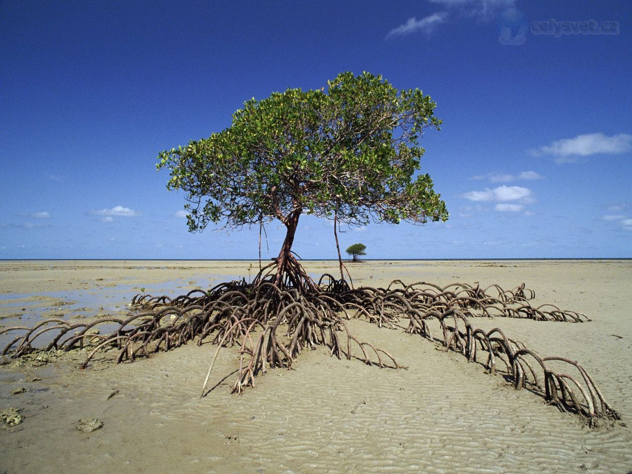 Mangrove Tree, Daintree National Park, Australia in 2019