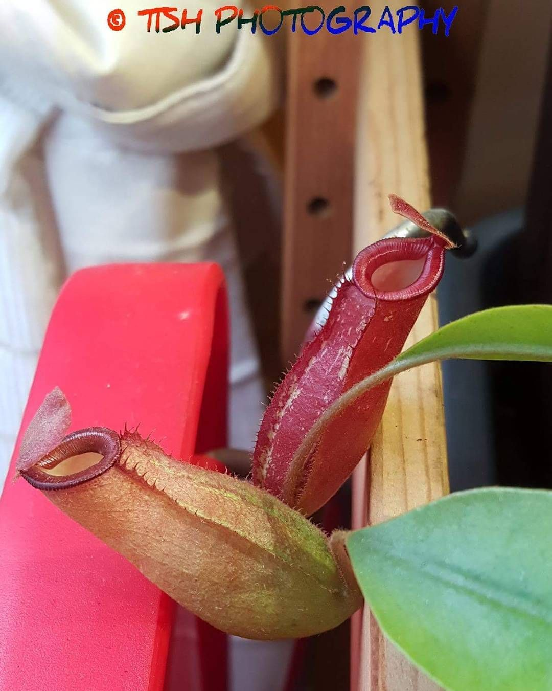 nepenthes lady luck ampullaria x ventricosa showing diffrence