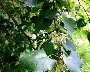 Lindetræer kendes også som Frejas træer, da det blev associeret med kærlighed. https://da.wikipedia.org/wiki/Lind Småbladet Lind (Tilia cordata):Blomstrende gren