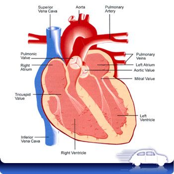 the human heart diagram – applecool, Muscles