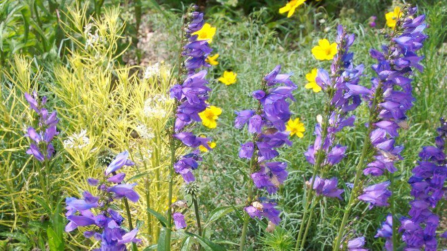 Beautiful Penstemon Varities Garden, Flowers, Purple flowers