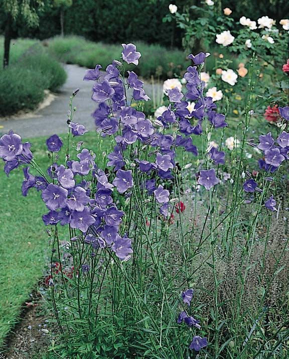 Campanula Telham Beauty Peach Leaf Bellflower Campanula Persicifolia Perennials Planting Flowers Flowers Perennials