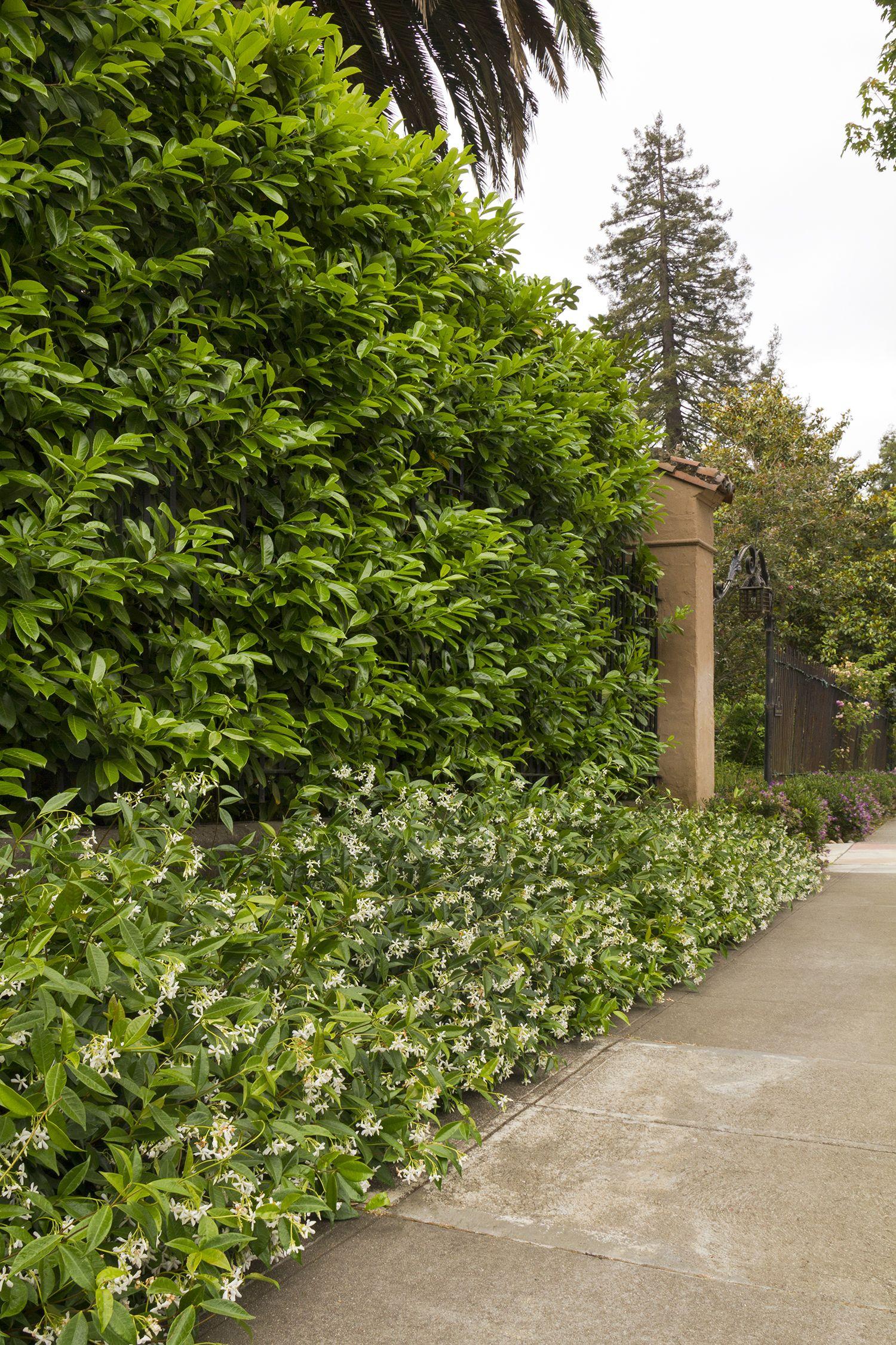 English Laurel Monrovia English Laurel LandscapeHome