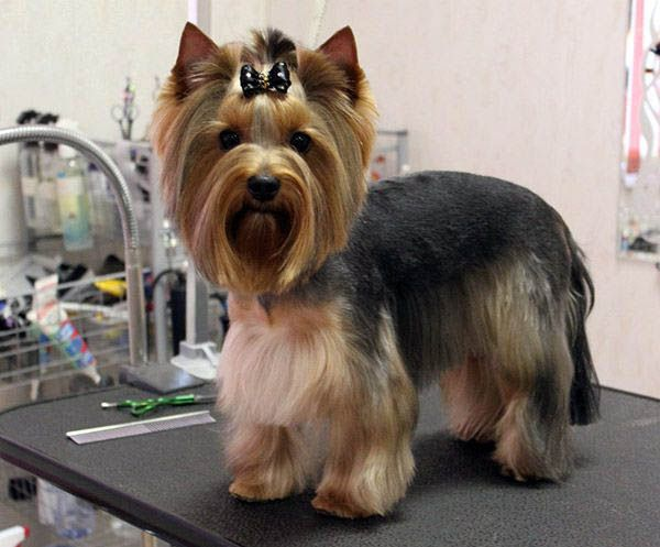 What A Uniquely Groomed Yorkie Yorkie Hairstyles Yorkshire Terrier Haircut Yorkie Haircuts