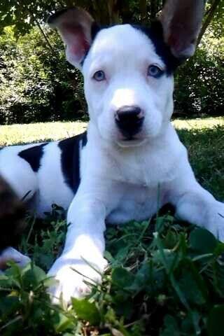 Pitsky Diamond At 10 Weeks Old Pitsky Puppy Unique Dog Breeds