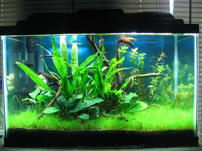 My first planted tank 10 gallon low tech betta haven for Fighting fish tank