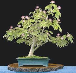 Training Mimosa into Bonsai Form (Gotta have it!) | Shhhh, you'll