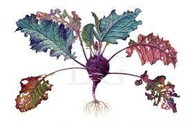 Afbeeldingsresultaat voor botanical illustration